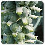 Organic Doric F1 Hybrid Brussels Sprouts