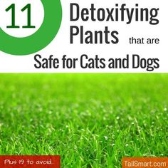 After reading the great list of 30 Plants That Can Detox The Air In Your Homeover at Sound Body Life, we started wondering which of these plants are safe for cats and dogs. While I'd love the air in my home to be more healthy and of a higher quality, I definitely wouldn't want to …