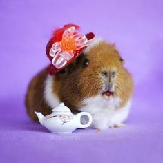 …and she hosts a rockin' tea party. | This Fuzzy Guinea Pig's Instagram Is All You'll Ever Need