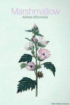 Marshmallow (Althea officinalis) #HerbalMedicine