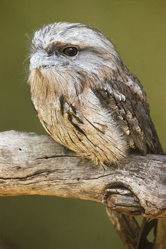 The Tawny Frogmouth is an Australian species of frogmouth, a type of bird found throughout the Australian mainland, Tasmania and southern New Guinea. The Tawny Frogmouth is often mistaken for an owl. Owl Bird, Bird Art, Pet Birds, Kinds Of Birds, Love Birds, Beautiful Birds, Animals Beautiful, Tasmania, Brighton