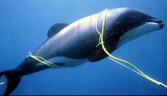 One of the unintended victims of the fishing industry is the extremely rare and endangered Maui's dolphin.