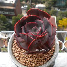 Echeveria 'Cassyz' #succulentssimplified #succulents