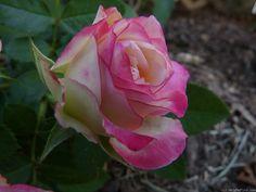 'Cherry Parfait ™' rose, click to enlarge