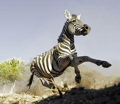 Burchell's zebra, Zimbabwe Chris Weston Image Of The Day, African Animals, Zimbabwe, Reptiles, Filmmaking, Wildlife, Creatures, Stripes, Artwork