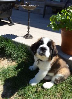 Guinness has a lot to say. St Bernard pup 9 weeks old Cute Puppies, Cute Dogs, Dogs And Puppies, Doggies, Cute Baby Animals, Animals And Pets, St Bernard Puppy, Cute Creatures, Big Dogs