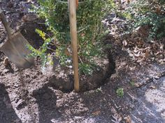 Transplanting Boxwood Step-by-Step | Q: Dear Grumpy, I need to transplant a boxwood that is in the way of an addition to the house. How do I do that? It needs to be done now...