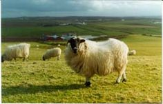 Aran Islands Sheep | Flickr -