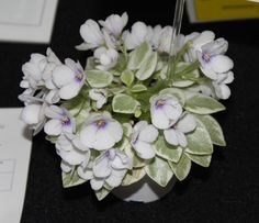 Saintpaulia 'Rob's Lucky Penny' - from the Violet Patch of Broward County 2013 Show - grown by Jillian Cain.  My favorite from the show - a semi-miniature.