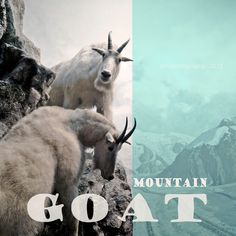 Animal photograph  Mountain Goat  typography  by ZenzPhotography