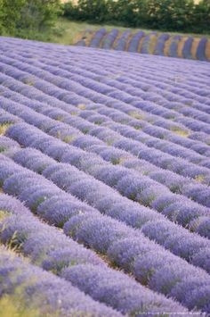 Lavender Field, Luberon, France