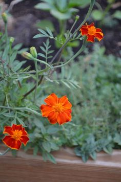 grow marigolds from seed...