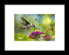 Sweet Success Framed Print By Christina Rollo