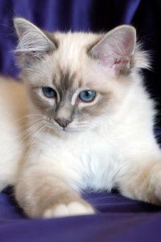 Cats and Kittens by SábaCat Birman Beauty Kittens Cutest, Cats And Kittens, Cattery, Animals, Beauty, Animales, Animaux, Animal, Animais