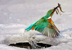colourful fisher bird catches 3 at once