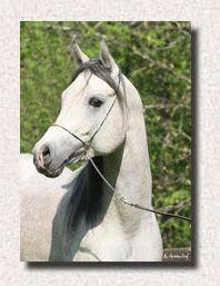 Wind Drinker Arabians | Straight Egyptian Arabian Stallions