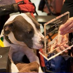 Sweet story - read how this paralyzed #PitBull is inspiring and helping hospital patients with spinal and brain injuries: