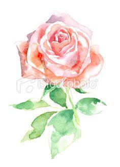 Watercolor Rose Royalty Free Stock Photo