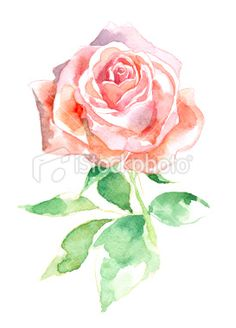 Watercolor Rose Royalty Free Stock Photo