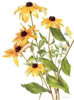 Botanical Illustration Rudbeckia hirta by Constance Sayas