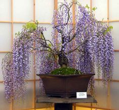 wisteria bonsai | wisteria wisteria bonsai