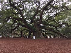 Angel Oak Tree - a bit of a drive, but believed to be over 1500 years old