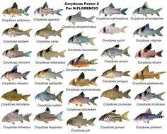 Ooh corydoras species chart fish aquariums for Freshwater fish list