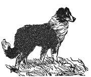 The  English Shepherd,  Border Collie,  and Australian Shepherd   Comparison Chart