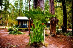 Gorgeous staghorn at Central Station by Tommy Campion   #fraserexplorer #fraserisland #queensland #australia www.fraserexplorertours.com.au