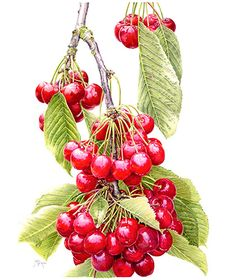 Cascading Cherries 'Stella'