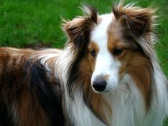 The Shetland Sheepdog originated in the and its ancestors were from Scotland, which worked as herding dogs. These early dogs were fairly small, about 20 inches in height, which further develo… Shetland Sheepdog Puppies, Loyal Dog Breeds, Loyal Dogs, I Love Dogs, Cute Dogs, English Dogs, Herding Dogs, Dog Rules, Animals