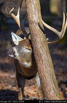 Buck Rubbing Tree - Whitetail Deer Stock Photos