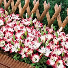 "Sugar Baby Carpet Border Lily - White frosty petals display the look of spun sugar and the pink tips enhance their splendour. Low-growing plants produce 6-8 blooms per bulb, and flowers measure 4"" wide. Ideally suited for containers or planting en masse. Asiatic lily  Light: Sun to Part Shade  -Bloom Time: Early to Midsummer - Size: 14-16 cm Bulbs - Zones: 3 to 8 - Height: 10-12"""