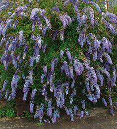 Comment tailler l'arbre aux papillons (Buddleja) | Arbres et arbustes | Taille | Taille, plantation, entretien | Bakker France