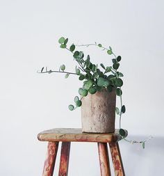 new plant #succulent #xerosicyosdanguyi , linen wrapped pot, @shopterrain , chinese stool