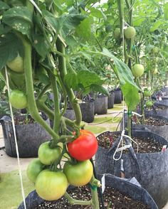 We have a red one :) #Tomatoes #Veggies #PenfieldNy