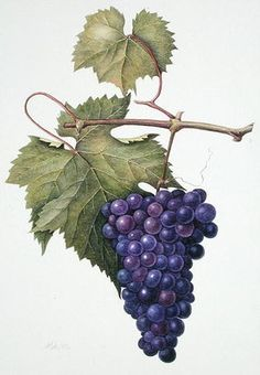 Grapes, 1994 (w/c on paper) Postcards, Greetings Cards, Art Prints, Canvas, Framed Pictures, T-shirts & Wall Art by Margaret Ann Eden