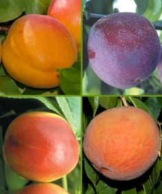 Enjoy harvesting up to four different delicious fruits from this unique fruit salad tree. All fruits retain their own qualities. Fruit Salad Tree, Fruit Trees, Trees To Plant, All Fruits, Different Fruits, Exotic Fruit, Tropical Fruits, Patio Plants, Garden Plants