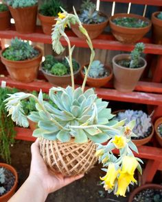"""Ok, now hurry up and say """"cheese"""" coz you're too heavy 😄!💚💛 and does anyone know the ID please? Thank you! 🙏 #kokedamas #kokedama # mossball .  2/15/2017 - Found the ID, Echeveria Alfred . . Echeveria Alfred '알프레드' Origin unknown. Suggested parents : Echeveria pulidonis and E. elegans 'Albicans'  Described and named for his friend  Alfred H. Waltemyer by Bernie DeChant. Published in Subtropica 30, April 2010  Known in Korea as E. 'Moon Fairy'. Description :  Stem erect, 4 cm high, 1,4 cm…"""