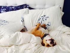 Pitbull nap time