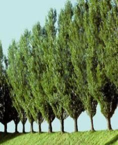 LombardyPoplar--Italian looking tree--fast growing, columnar tree not too wide, along fence...
