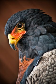 Eagles are such beautiful birds and very smart. Kinds Of Birds, All Birds, Birds Of Prey, Angry Birds, Pretty Birds, Beautiful Birds, Animals Beautiful, Exotic Birds, Colorful Birds