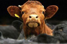 Krowa Dupa!