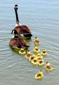 I love the Canadian goose and these babies are too adorable.