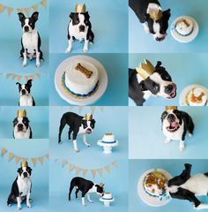 Dog cake smash photo session- Boston Terrier