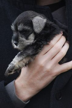 OMG how adorable is this mini schnauzer puppy?? ✨✨
