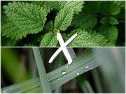 diferença entre erva cidreira e capim cidreira