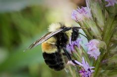 The rusty patched bumble bee would be the first bee in the continental United States to be protected under the Endangered Species Act.