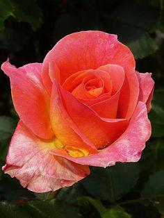 roses - Orange Roses - Comunitate - Google+