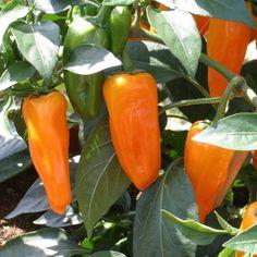 F1 Cheyenne - Pepper - Hot | Vegetalis